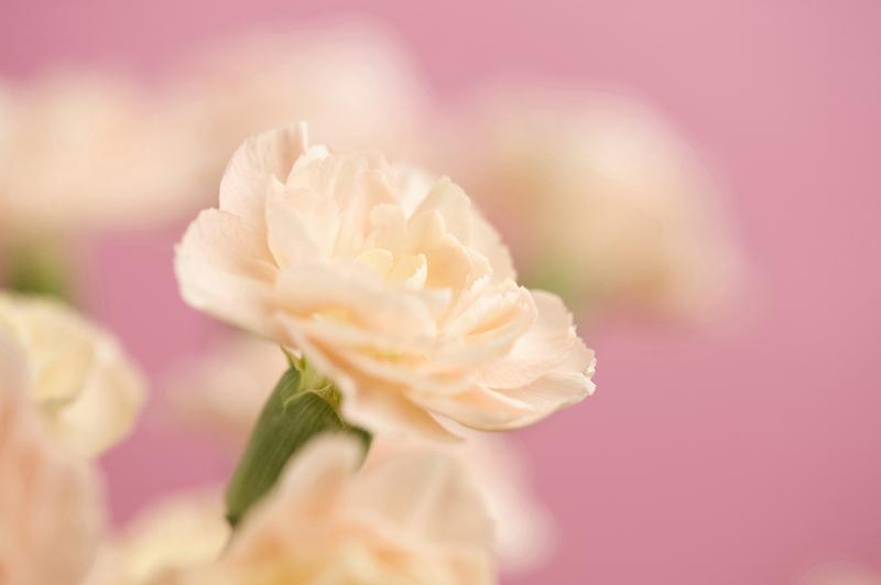 カーネーション、花言葉